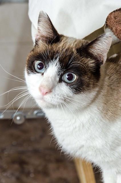 Dora, gata cruce Snowshoe dulce y habladora esterilizada, nacida en Marzo´18, en adopción. Valencia. ADOPTADA. 46017808005_41e464734c_z