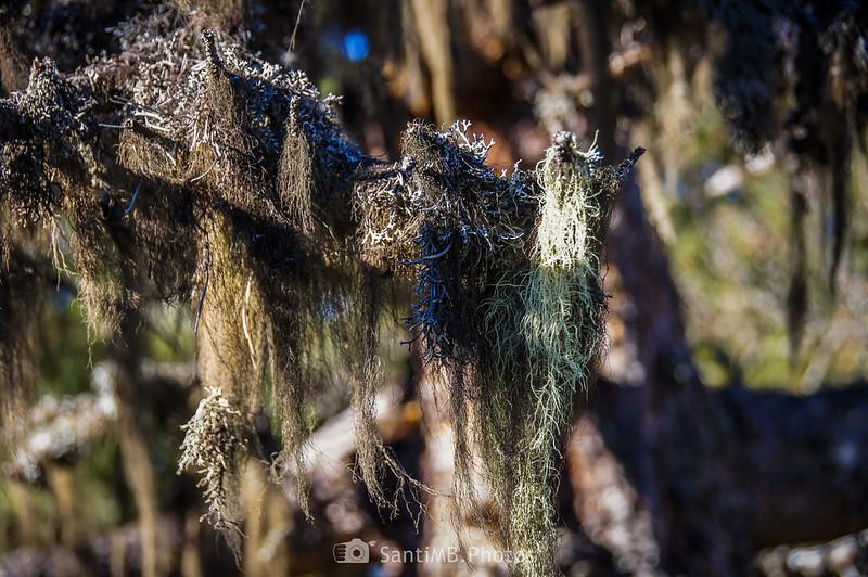 Liquen filamentoso sobre rama de árbol