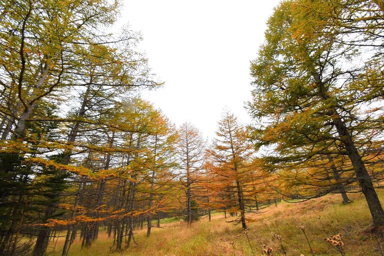浅間山 カラマツの紅葉