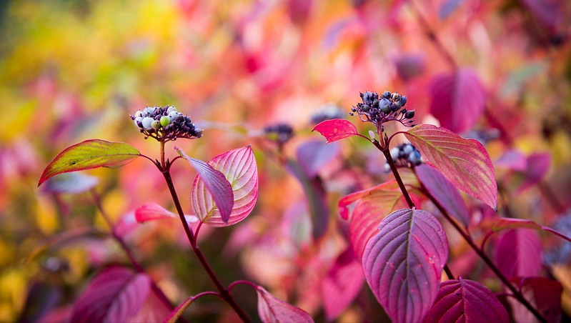 Colourful leaves and berries