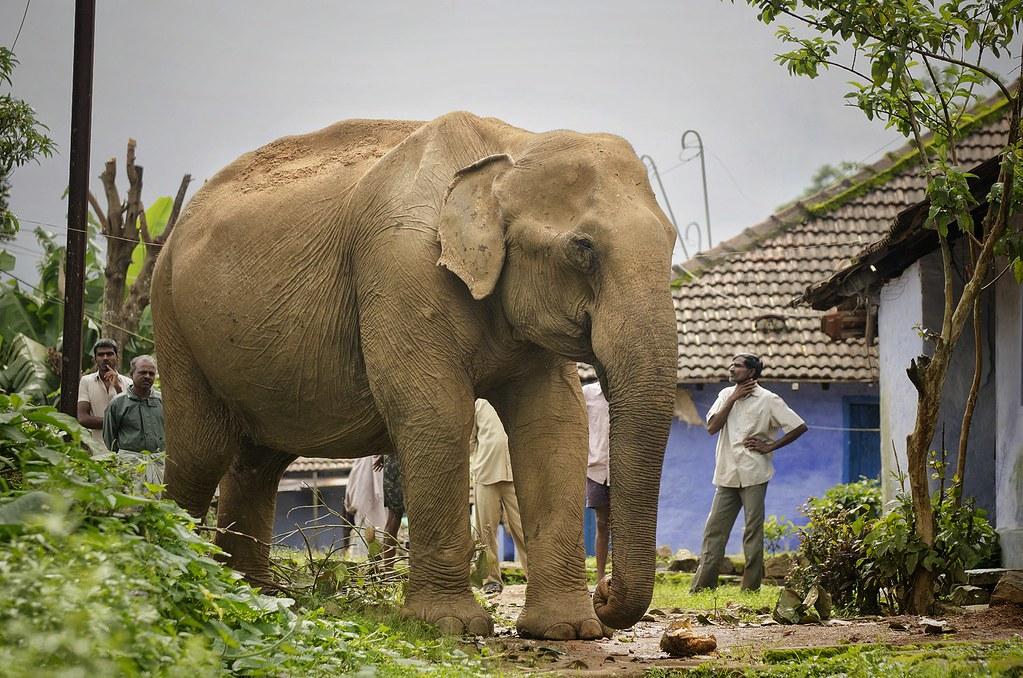 大象跑進瓦爾巴賴高原上一位茶莊勞工的後院大啖波羅蜜(圖片來源:mongabay)