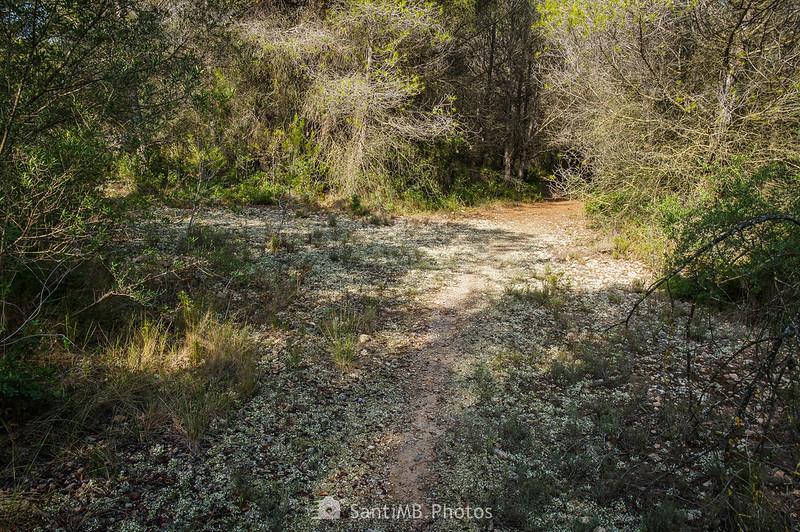 Camino tapizado de liquen en Bellvei