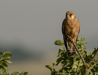 Red footed Falcon (female)_MG_2526 | by Stuart_Allen