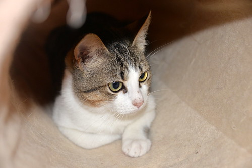 Alfred, gatito blanquipardo de ojos verdes nacido en Junio´18, en adopción. Valencia. ADOPTADO. 45030381875_5ba6211d93