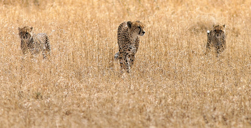4 December - International Cheetah Day | by AnyMotion