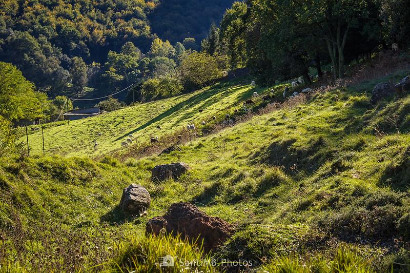 Ovejas en los pastos junto a la carretera del Corb