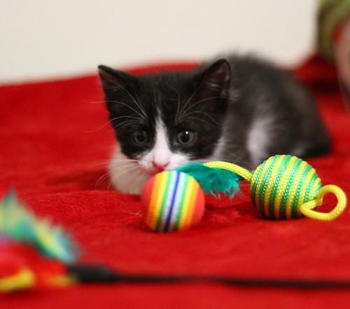 Hugo, gatito blanquinegro adorable nacido en Octubre´18, en adopción. Valencia. ADOPTADO. 45942496031_c4003650c5