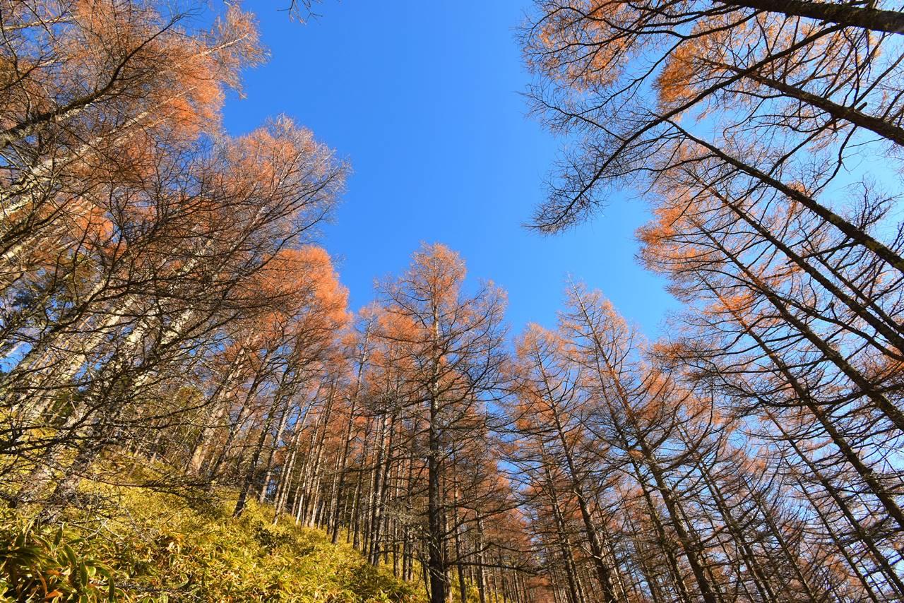 大菩薩嶺~石丸峠 カラマツの紅葉