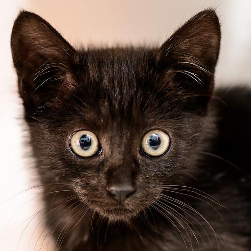 Mágica, gatita azabache muy guapa y tímida + inmunodeficiencia, nacida en Septiembre´18, en adopción. Valencia. ADOPTADA.  46359722582_da935374f0