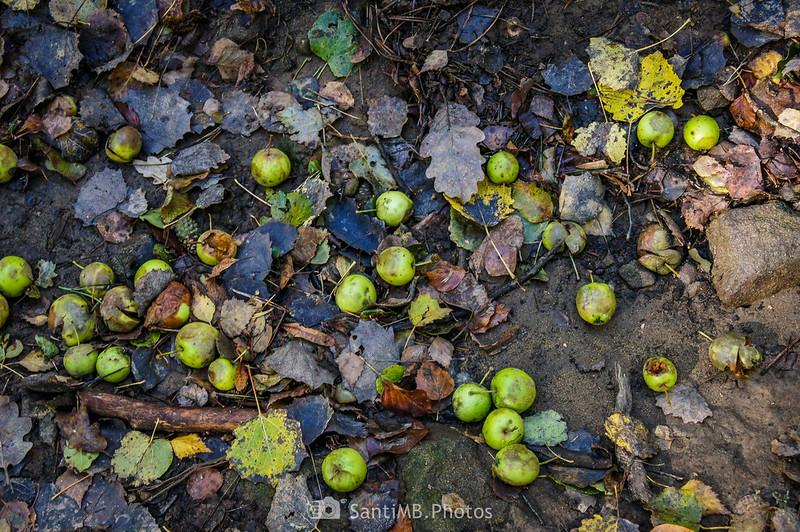 Manzanas silvestres en el bosque de las Roques Encantades