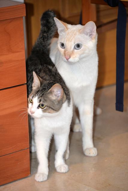 Alfred, gatito blanquipardo de ojos verdes nacido en Junio´18, en adopción. Valencia. ADOPTADO. 32071502838_8e1920674a_z