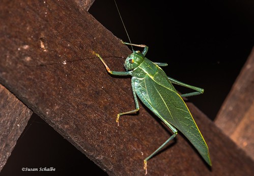 Leaf shaped bug in the night | by Photosuze
