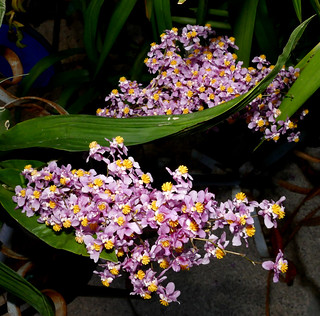 Oncidium sotoanum species orchid 11-18 | by nolehace