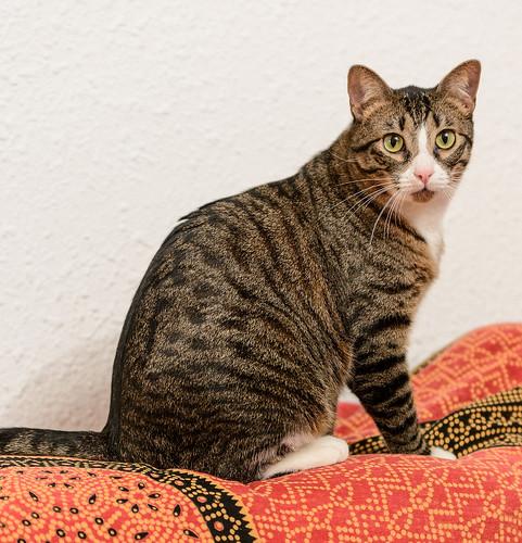 Efrén, gatito blanquipardo súper dulce positivo a inmuno nacido en Septiembre´17, en ADOPCIÓN ESPECIAL. Valencia. 32348453968_034979baac