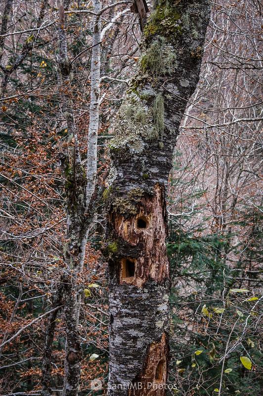 Agujeros de pícidos en una haya del Bosc dera Artiga de Lin