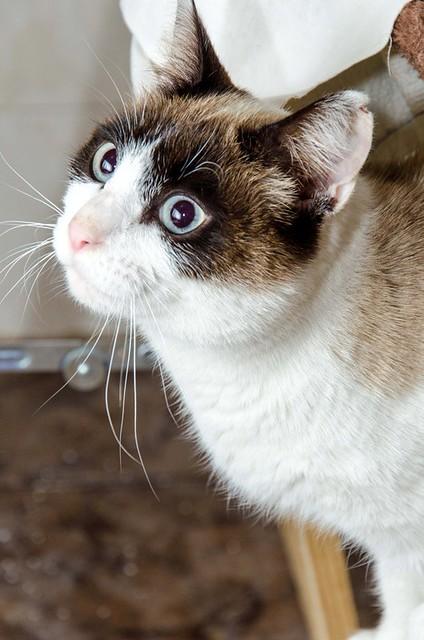 Dora, gata cruce Snowshoe dulce y habladora esterilizada, nacida en Marzo´18, en adopción. Valencia. 46017807555_e1c2e3afb5_z