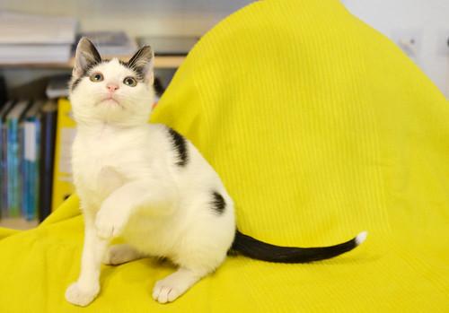 Morad, gatito blanco con toques negros muy juguetón nacido en Octubre´18, en adopción. Valencia. 32451432188_f236931068