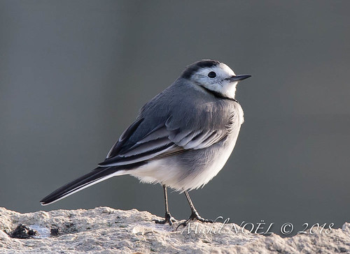 Bergeronnette grise - Motacilla alba - White Wagtail : Michel NOËL © 2018-6571.jpg | by Michel NOËL 1,3 M + views .Thanks to visits