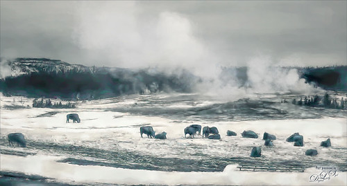 Bison grazing at Yellowstone National Park