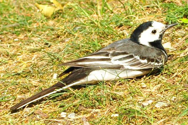 Singvogel BACHSTELZE ... dschi-wid, dschi-wid ... Foto: Brigitte Stolle