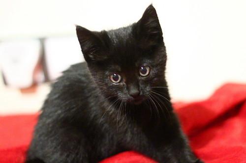 Mina, gatita azabache súper mona nacida en Septiembre´18, en adopción. Valencia. ADOPTADA. 44970856525_805e76da15