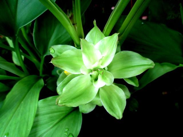 Kunyit flower 1
