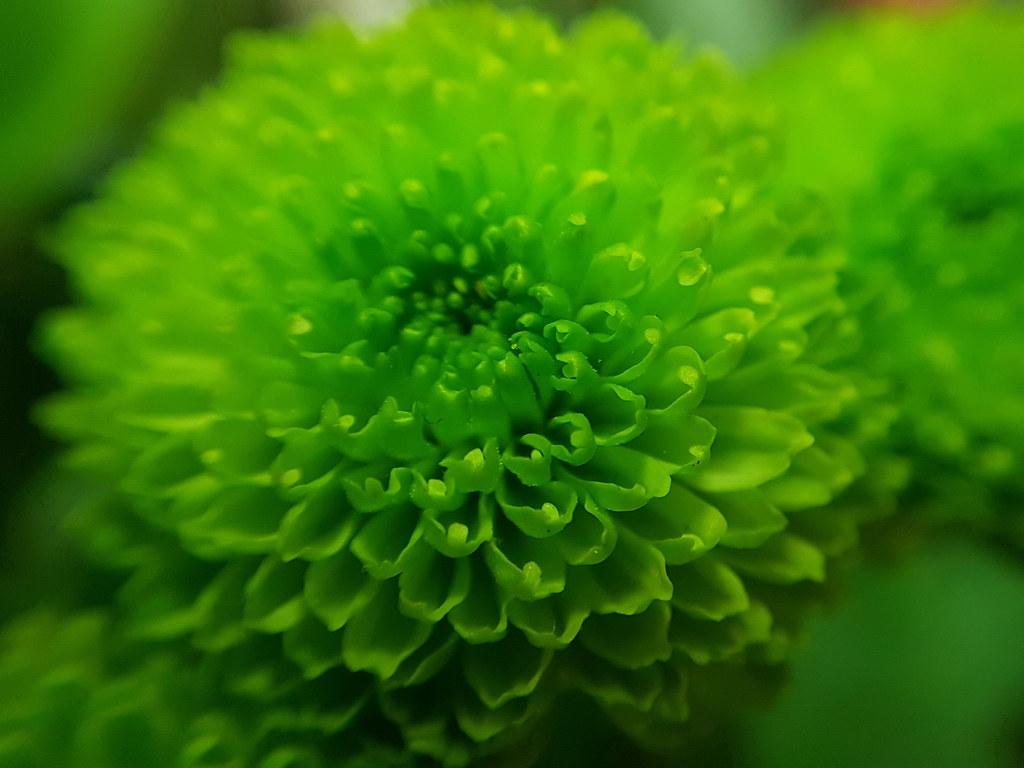 Mini Chrysantheme Pompon Vert Un Bouquet De Fleurs Garni A Flickr