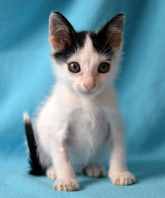 Morad, gatito blanco con toques negros muy juguetón nacido en Octubre´18, en adopción. Valencia. 45893390342_55903a2f37_z