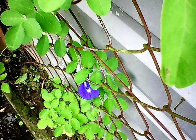 Butterfly pea flower, 1st to bloom 1