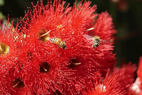 Flowering gum attracting bees | by Joe Lewit