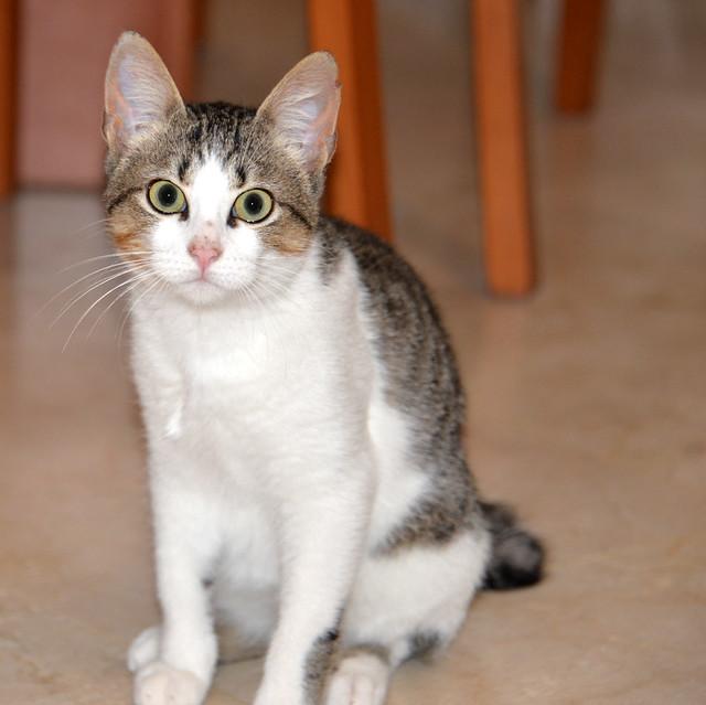 Alfred, gatito blanquipardo de ojos verdes nacido en Junio´18, en adopción. Valencia. ADOPTADO. 31003801997_8ee316645d_z