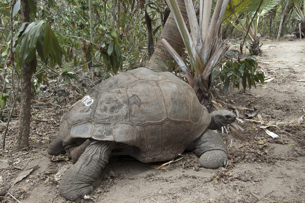 「Ile aux Aigrettes」島上的亞達伯拉象龜。tatogra(CC BY-SA 2.0)