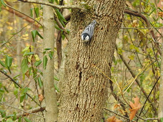 White-breasted Nuthatch. Photo by Patrick McGuigan | by Western Cuyahoga Audubon