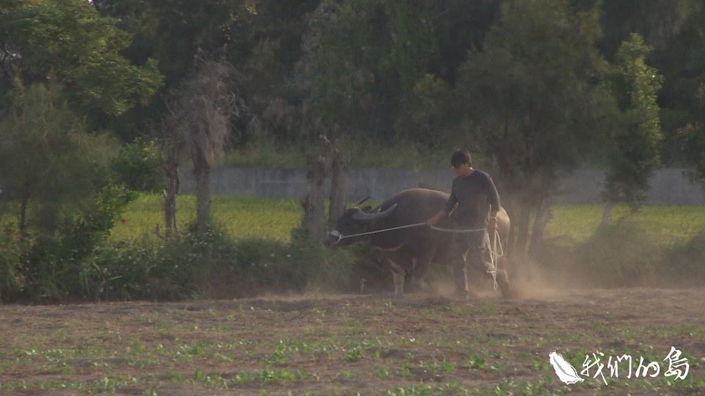 隨著時代轉變,鐵牛取代了耕牛,牛的身影漸漸消失在農村。