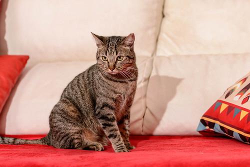 Ava, gata parda muy dulce y buena esterilizada, nacida en Enero´17, en adopción Valencia. RESERVADA. 46922169681_c4ff2f431d