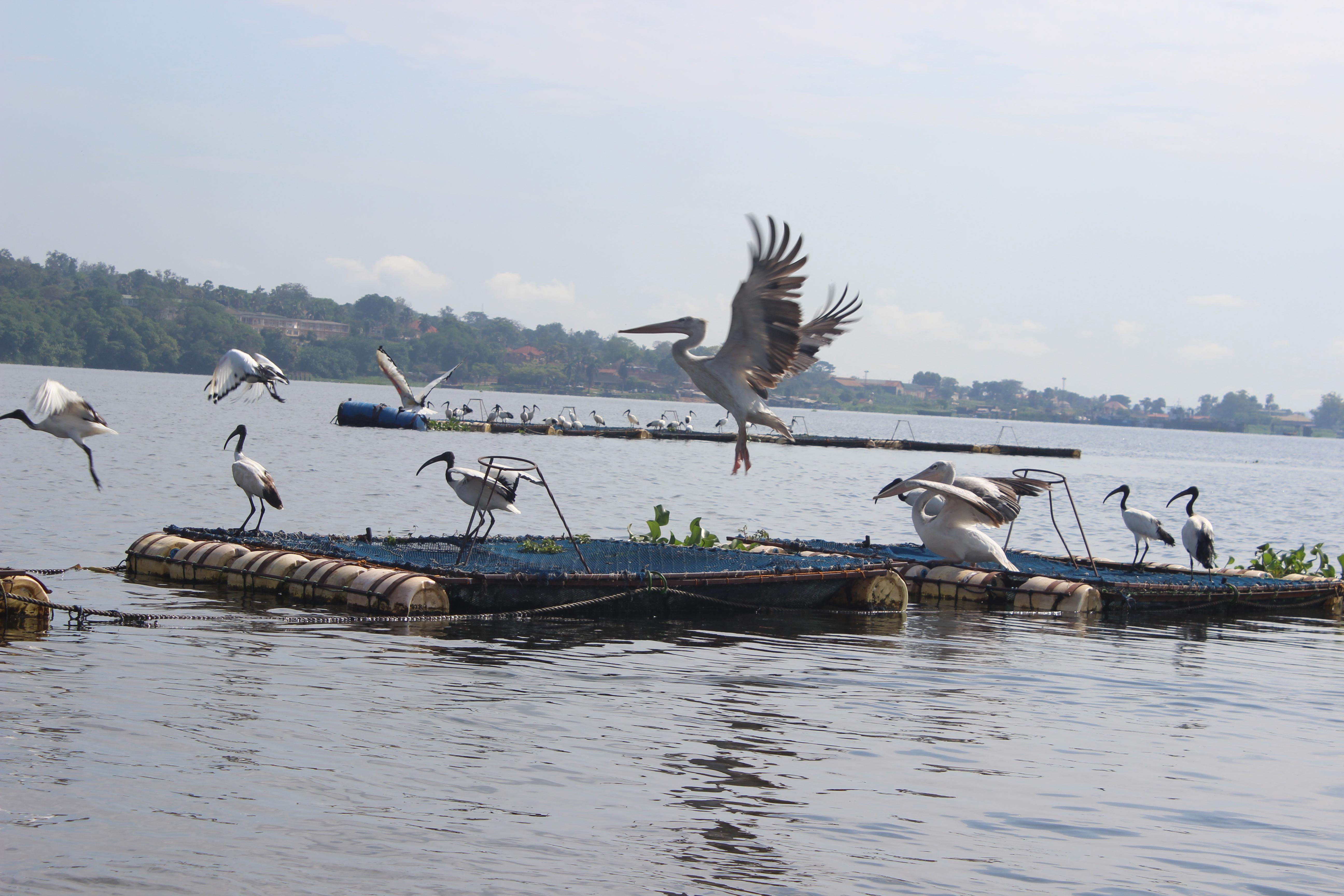 Falta de fondos frena la piscicultura en jaulas de frica for Jaulas flotantes para piscicultura