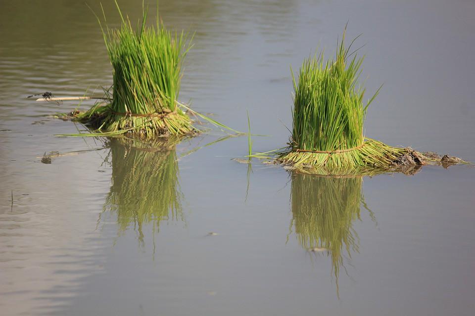 廢污水排入灌溉系統,經年累月聚積,提高農地及作物污染風險。