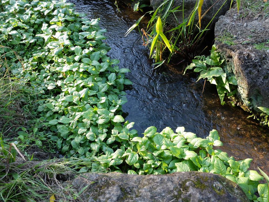 台北植物園內的大葉田香。大葉田香是車前草科的濕地水生植物,全株充滿八角茴香味,冬季會休眠。資料來源:台北植物園。攝影:林睿妤。