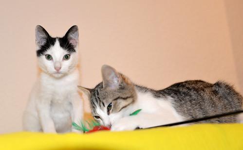 Morad, gatito blanco con toques negros muy juguetón nacido en Octubre´18, en adopción. Valencia. 32451430408_de9fd15971