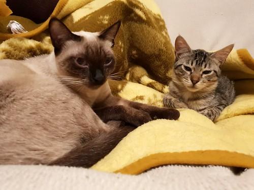 Free, gatita parda guapa y mimosa, muy buena, nacida en Julio´18, en adopción. Valencia. ADOPTADA. 46226810381_b2e1b71818