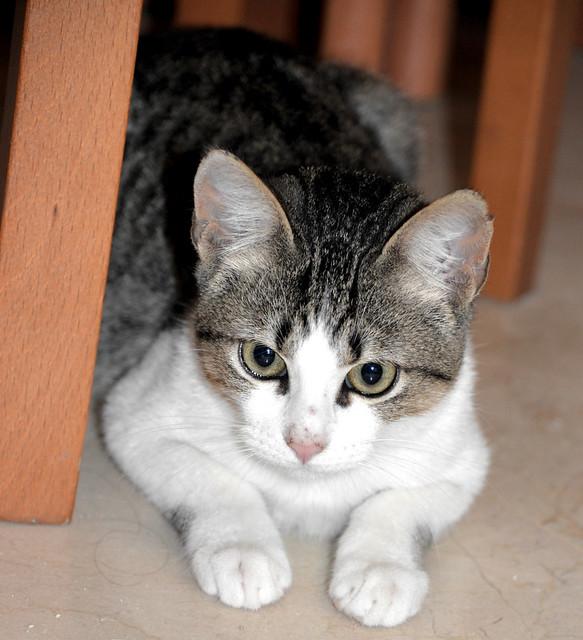 Alfred, gatito blanquipardo de ojos verdes nacido en Junio´18, en adopción. Valencia. ADOPTADO. 45030385035_cca8598906_z