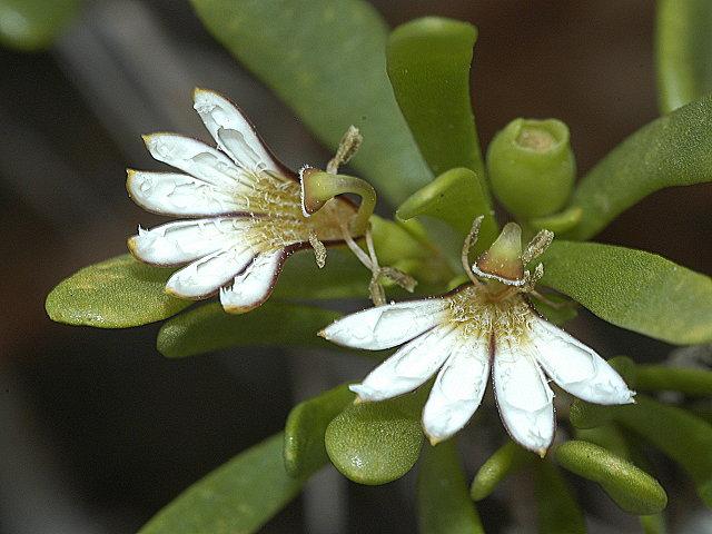 草海桐屬獨特的半邊花。圖片來源:謝宗欣