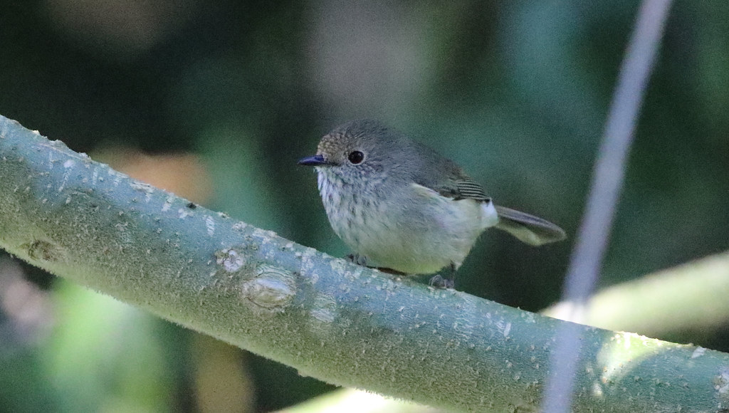 The common thornbill species in Brisbane. Widespread across the remnant forests of the city, particularly in the north west slopes. No clear seasonal trend to records although slightly fewer records in the latter months of the year. Not of conservation concern and widely distributed beyond Brisbane environs.