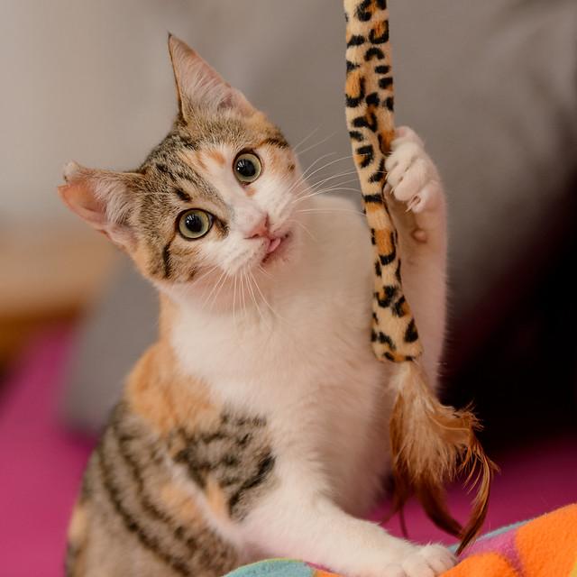 Casandra, gatita tricolor monísima y súper buena esterilizada, nacida en Mayo´18, en adopción. Valencia. ADOPTADA. 32305413328_7048a6f252_z