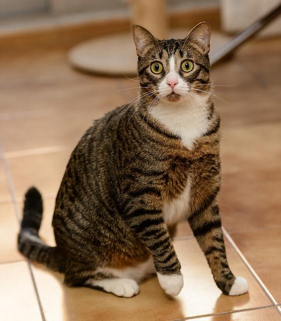 Efrén, gatito blanquipardo súper dulce positivo a inmuno nacido en Septiembre´17, en ADOPCIÓN ESPECIAL. Valencia. 31281739647_f6e737ccb9_z