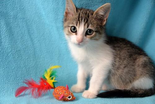 Morris, gatito blanquipardo muy guapo y activo nacido en Octubre´18, en adopción. Valencia. ADOPTADO. 45030590165_9e50ee5fdd