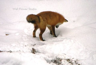 Fox just about to pounce on a vole | by Karen @ Wall Flower Studio