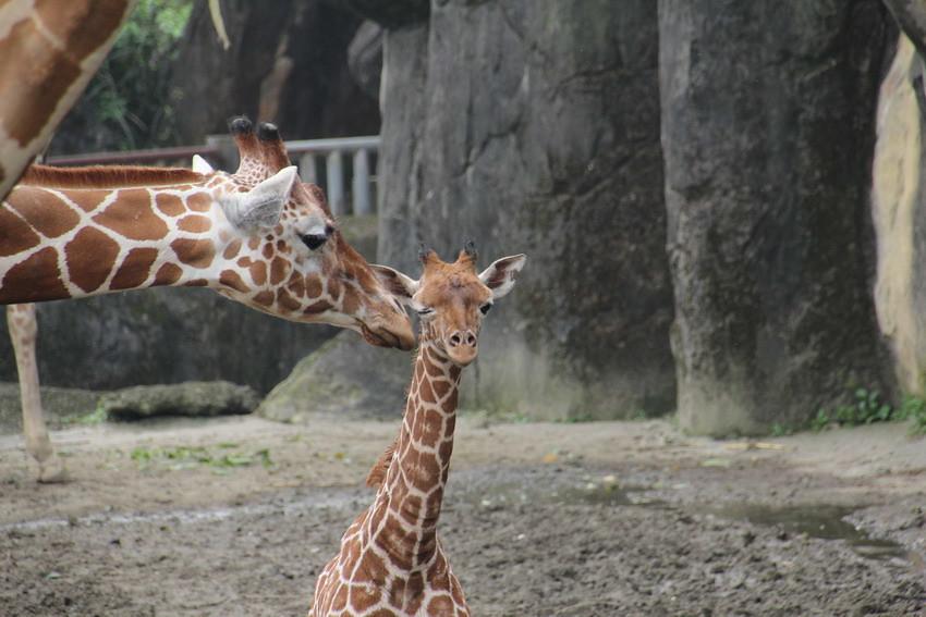 臺北市立動物園長頸鹿模範夫妻「菊忠」和「長宵」,2012年1月18日生下第6個孩子「宵順」。臺北市立動物園