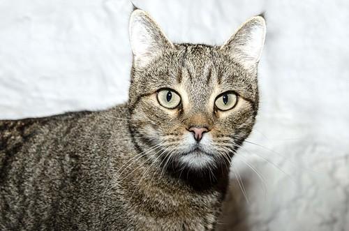 Bandit, gato pardo ojos verdes súper bueno esterilizado, nacido en Marzo´16, en adopción. Valencia. ADOPTADO. 32377528518_8f0a606413