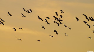 Flock of Lapwings | by Robbob2010